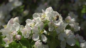 Bloemen op een bloeiende boom stock footage