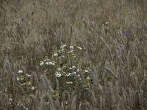 bloemen op een graangewassengebied royalty-vrije stock afbeelding