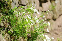 Bloemen op een steenmuur op een helling Royalty-vrije Stock Fotografie