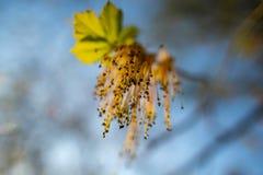 Bloemen op een tak van een lindeboom royalty-vrije stock fotografie