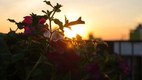 Bloemen op het dakterras op de zonsondergang op een winderige dag stock footage