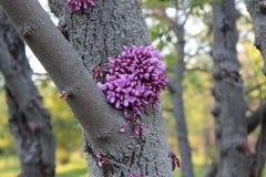 Bloemen op het lijsthout Cercis royalty-vrije stock fotografie