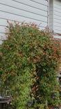 Bloemen op latwerk Stock Foto
