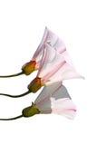 Bloemen op Wit Stock Foto