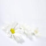 Bloemen op witte achtergrond Stock Afbeeldingen