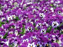 Bloemen - Pansies Royalty-vrije Stock Afbeeldingen