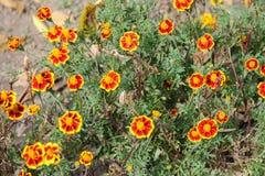 Bloemen - patula van goudsbloemtagetes - bij het dendrological park van Macea royalty-vrije stock fotografie