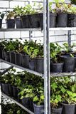 Bloemen in potten met grond voor het overplanten van hen aan hun persoonlijke gebieden Op de planken van vele verschillende versc royalty-vrije stock foto's