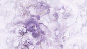 Bloemen purper-witte achtergrond Purper-witte uitstekende bloemenpioenen bloemencollage De samenstelling van de bloem stock afbeelding