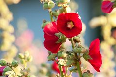 Bloemen rode mallows 1 Stock Afbeelding