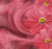 Bloemen rode mooie achtergrond De samenstelling van de bloem Prentbriefkaar met rode bloemen van madeliefjes op een rozerode acht royalty-vrije stock foto's