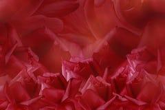 Bloemen rode mooie achtergrond van rozen De samenstelling van de bloem Rode rozen op een rode achtergrond Prentbriefkaar voor de  Royalty-vrije Stock Foto