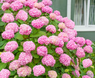 Bloemen, roze hydrangea hortensiastruik stock foto