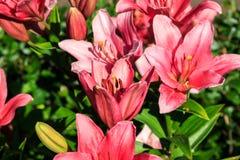 Bloemen, roze lelies Royalty-vrije Stock Afbeelding