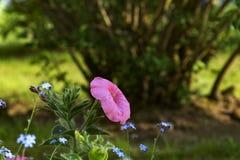 Bloemen roze petunia Stock Fotografie