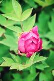 Bloemen roze pioenen Stock Foto's