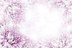 Bloemen roze-witte mooie achtergrond De samenstelling van de bloem Kader van wit-roze bloemen Asters op witte achtergrond Royalty-vrije Stock Fotografie