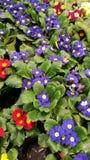 Bloemen samenstelling sleutelbloem geel, rood, blauw op groene bladeren royalty-vrije stock fotografie