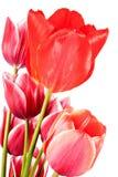 Bloemen 2016 Samenstelling van roze en rode die tulpen op w worden geïsoleerd Stock Fotografie