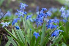 Bloemen Scilla in April royalty-vrije stock afbeelding