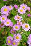 Bloemen shrubby asters Royalty-vrije Stock Fotografie