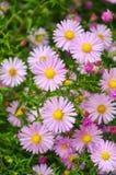 Bloemen shrubby asters Royalty-vrije Stock Foto