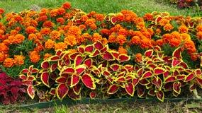 bloemen Tagetes royalty-vrije stock afbeelding