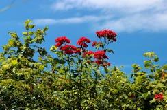 Bloemen tegen de hemel, rode bloemen, rode bloemen op blauwe achtergrond, royalty-vrije stock afbeelding