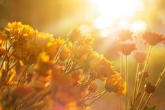 Bloemen trillend bij zonsopgang, warme kleurentoon, zacht nadruk en onduidelijk beeld Stock Foto's