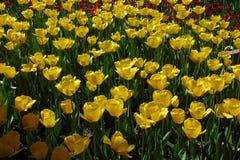 Bloemen, tulhs Stock Foto's