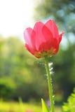 Bloemen Tulp Royalty-vrije Stock Fotografie