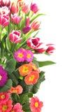 Bloemen tulp en sleutelbloemgrens Royalty-vrije Stock Afbeeldingen