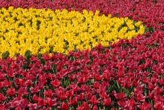 bloemen tulpen Royalty-vrije Stock Afbeeldingen