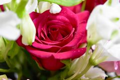 Bloemen Twee kleuren Rode en witte rozen Royalty-vrije Stock Afbeelding