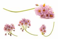 Bloemen van aardappel stock afbeelding