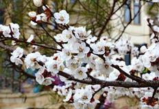 Bloemen van abrikozen Royalty-vrije Stock Foto's