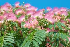 Bloemen van acacia (Albizzia-julibrissin) Royalty-vrije Stock Afbeeldingen