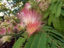 Bloemen van acacia (julibrissin Albizzia) Royalty-vrije Stock Afbeeldingen