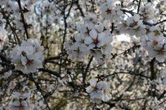Bloemen van amandel in de winter stock afbeelding