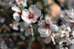 Bloemen van amandel in de winter royalty-vrije stock afbeelding