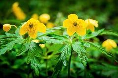 Bloemen van anemonen in het bos op een opheldering, de lente day_ Royalty-vrije Stock Afbeelding