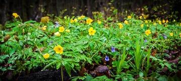 Bloemen van anemonen in het bos op een opheldering, de lente day_ Royalty-vrije Stock Foto