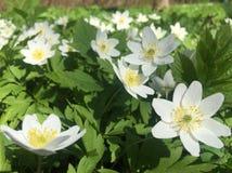 Bloemen van anemony dubravny stock foto's