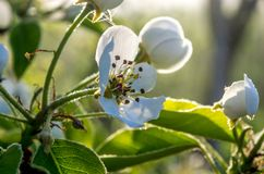 Bloemen van appel Royalty-vrije Stock Foto's