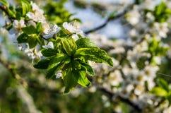 Bloemen van appel Royalty-vrije Stock Foto