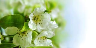 Bloemen van appel Stock Foto's
