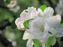 Bloemen van appel Royalty-vrije Stock Afbeelding