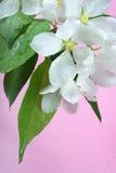 Bloemen van appel-boom Royalty-vrije Stock Afbeeldingen