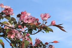 Bloemen van appelbomen die naar omhoog naar de zon neigen stock fotografie