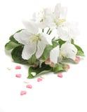 Bloemen van appelboom Royalty-vrije Stock Fotografie
